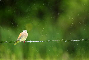 Turtle dove (Streptopelia turtur) perched on a barbed wire fence in a rain shower, Essex, England, UK, June.  -  Luke Massey / 2020VISION