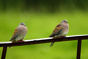 Two Turtle doves (Streptopelia turtur) perched on a rusting iron rail in a rain shower, Essex, England, UK, June. - Luke Massey / 2020VISION