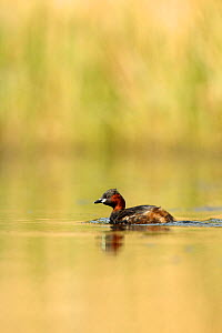 Little grebe (Tachybaptus ruficollis) on lake, Surrey, England, UK, April.  -  Luke Massey / 2020VISION