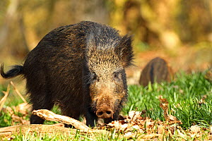 Wild boar (Sus scrofa) foraging in woodland, Forest of Dean, Gloucestershire, England, UK, April.  -  Luke Massey / 2020VISION