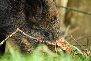Wild boar sow (Sus scrofa) foraging in the Forest of Dean, Gloucestershire, England, UK, April.  -  Luke Massey / 2020VISION