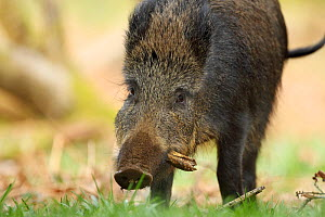 Wild boar sow (Sus scrofa) foraging, Forest of Dean, Gloucestershire, England, UK, April.  -  Luke Massey / 2020VISION