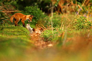 Two Red fox (Vulpes vulpes) cubs playfighting, Hertfordshire, England, UK, May.  -  Luke Massey / 2020VISION
