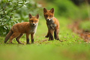Red fox (Vulpes vulpes) cubs, Hertfordshire, England, UK, May. Did you know? There are 45 different subspecies of Red fox, and as well as many colour variations.  -  Luke  Massey / 2020VISION