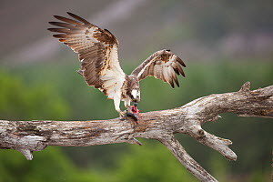 Osprey (Pandion haliaetus) eating fish prey, Cairngorms National Park, Scotland, UK, July.  -  Peter Cairns / 2020VISION