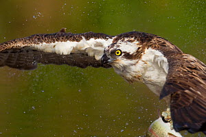 Osprey (Pandion haliaetus) fishing, Cairngorms National Park, Scotland, UK, July. - Peter Cairns / 2020VISION