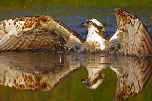 Osprey (Pandion haliaetus) at surface of a loch after diving for a fish, Cairngorms National Park, Scotland, UK, July. - Peter  Cairns / 2020VISION