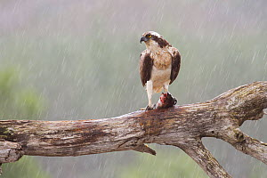 Osprey (Pandion haliaetus) on feeding perch with fish prey in the rain, Cairngorms National Park, Scotland, UK, July. - Peter Cairns / 2020VISION