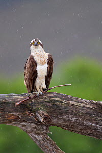 Osprey (Pandion haliaetus) perched on branch, holding stick in its foot, Cairngorms National Park, Scotland, UK, July. - Peter Cairns / 2020VISION