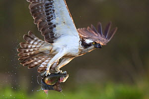 Osprey (pandion haliaetus) with fish prey, Cairngorms National Park, Scotland, UK, May. Did you know?  Ospreys are found on every continent except Antarctica .  -  Peter  Cairns / 2020VISION
