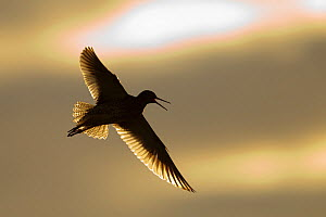 Redshank (Tringa totanus) calling in flight, Outer Hebrides, Scotland, UK, June. - Peter Cairns / 2020VISION