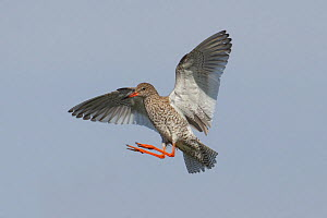 Redshank (Tringa totanus) in flight, Outer Hebrides, Scotland, UK, June.  -  Peter Cairns / 2020VISION
