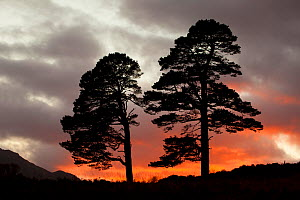 Two Scots pine trees (Pinus sylvestris) silhouetted at sunset, Glen Affric, Scotland, UK, October 2012. Did you know? The bark of a Scots pine tree can be up to 5 centimetres thick.  -  Peter Cairns / 2020VISION
