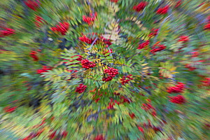 Rowan (Corbus aucuparia) and Ash trees (Fraxinus excelsior) in fruit, blurred by zoom effect, Glenfeshie, Cairngorms National Park, Scotland, UK, October.  -  Peter Cairns / 2020VISION