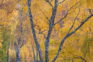 Silver birch (Betula pendula) woodland in autumn, Craigellachie NNR, Cairngorms National Park, Scotland, UK, October. - Peter Cairns / 2020VISION