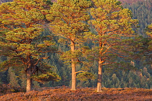 Three Scots pine (Pinus sylvestris) trees, with conifer woodland in the background, Glen Affric National Nature Reserve, Scotland, UK, October 2012. - Peter Cairns / 2020VISION