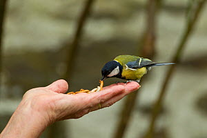 Great tit (Parus major) taking mealworm from person's hand, Pembrokeshire Coast National Park, Wales, UK, May.  -  Mark Hamblin / 2020VISION