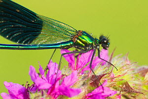 Male Banded demoiselle (Calopteryx splendens) on Purple loosestrife (Lythrum salicaria) flower, Bedfordshire, England, UK, July 2012. Did you know? Dragonflies and damselflies are easy to distinguish...  -  Mark Hamblin / 2020VISION