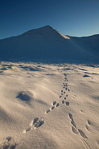 Mountain hare (Lepus timidus) footprints in snow, Creag Meagaidh National Nature Reserve, Scotland, UK, December 2012. - Mark Hamblin / 2020VISION