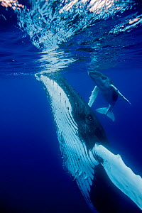 Humpback Whale (Megaptera novaeangliae) mother and calf at sea surface. Tonga, South Pacific, September. - Doc White