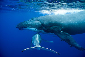 Humpback Whale (Megaptera novaeangliae) mother and calf. Tonga, South Pacific, September. - Doc White