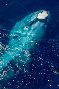 Blue Whale (Balaenoptera musculus) feeding at sea surface, releasing bubbles after a lunge. California, USA.  -  Doc White