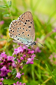 Large blue butterfly (Phengaris arion) feeding on Wild thyme, Somerset, UK, July  -  Andy Sands