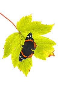Red Admiral (Vanessa atalanta) on leaf, , Great Malvern, Worcestershire, September. meetyourneighbours.net project  -  MYN / Ian Butler