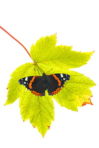 Red Admiral (Vanessa atalanta) on leaf,  Great Malvern, Worcestershire, September. meetyourneighbours.net project  -  MYN / Ian Butler