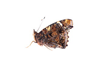 Red Admiral (Vanessa atalanta) profile with wings closed, Great Malvern, Worcestershire, September. meetyourneighbours.net project  -  MYN / Ian Butler