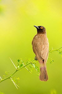 African Red-eyed bulbul (Pycnonotus brunneus) portrait, Karoo, South Africa, February - Ben Hall