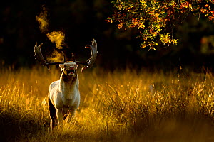 Fallow deer (Dama dama) buck bellowing at dawn during the rut, Cheshire, UK, October - Ben  Hall