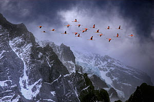 Chilean flamingos (Phoenicopterus chilensis) in flight over mountain peaks with glacier in the distance, Torres Del Paine National Park, Chile. Winner of Landscape category, Nature's Best / Windland S... - Ben Hall
