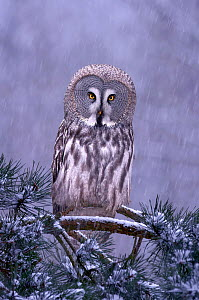 Great grey owl (Strix nebulosa) perched in pine tree in snowfall, captive  -  Ben  Hall