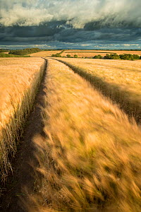 Vehicle tracks in field of ripe Barley,  farmland, late evening light, near Putford, Devon, UK. August 2012. - Ross Hoddinott