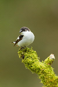 Pied flycatcher (Ficedula hypoleuca) adult male. Wales, UK, May.  -  Mark  Hamblin / 2020VISION