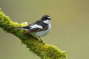 Pied flycatcher (Ficedula hypoleuca) male perched. Wales, UK, May.  -  Mark  Hamblin / 2020VISION