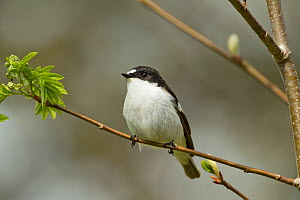 Pied flycatcher (Ficedula hypoleuca) male in woodland in spring. Wales, UK, May.  -  Mark  Hamblin / 2020VISION