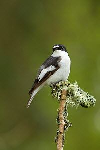 Pied flycatcher (Ficedula hypoleuca) male. Wales, UK, May.  -  Mark  Hamblin / 2020VISION
