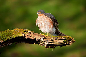 Sparrowhawk (Accipiter nisus) adult male with ruffled feathers. Scotland, UK, March. - Mark  Hamblin / 2020VISION