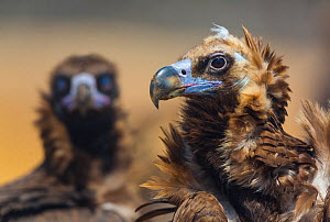 European Black vulture (Aegypius monachus) portrait of two birds, Campanarios de Azaba Biological Reserve, a rewilding Europe area, Salamanca, Castilla y Leon, Spain - Wild Wonders of Europe / Muñoz