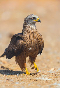 Black kite (Milvus migrans) portrait on ground, Campanarios de Azaba Biological Reserve, a rewilding Europe area, Salamanca, Castilla y Leon, Spain - Wild Wonders of Europe / Muñoz