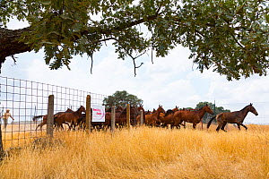 Retuerta horses (Equus ferus caballus) once native, herd now released to graze Campanarios de Azaba Biological Reserve, a rewilding Europe area, Salamanca, Castilla y Leon, Spain - Wild Wonders of Europe / Muñoz