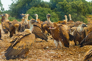 Griffon vulture (Gyps fulvus) large group at feeding site, Campanarios de Azaba Biological Reserve, a rewilding Europe area, Salamanca, Castilla y Leon, Spain - Wild Wonders of Europe / Muñoz