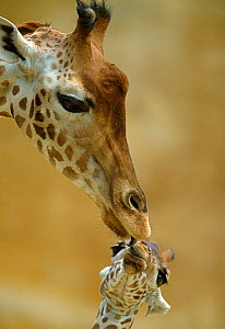 West African / Niger Giraffe (Giraffa camelopardalis peralta) mother and baby. Zoo of Doue La Fontaine, France. Captive. - Denis-Huot