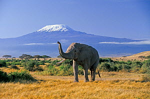 RF- African Elephant (Loxodonta africana) male and Mount Kilimanjaro. Amboseli National Park, Kenya. (This image may be licensed either as rights managed or royalty free.) - Denis-Huot
