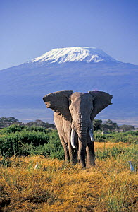 African Elephant (Loxodonta africana) male and Mount Kilimanjaro. Amboseli National Park, Kenya. - Denis-Huot