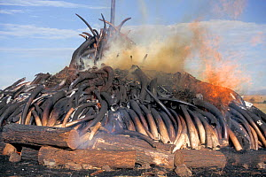 African Elephant (Loxodonta africana) tusks being burnt after confiscation from poachers. Nairobi National Park, Kenya, 1990.  -  Denis-Huot