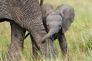 African Elephant (Loxodonta africana) baby playing with its mother. Masai-Mara Game Reserve, Kenya.  -  Denis-Huot