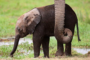 African Elephant (Loxodonta africana) baby elephant its mother's trunk Amboseli National Park, Kenya.  -  Denis-Huot